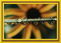 Black-eyed Susan in Raindrops